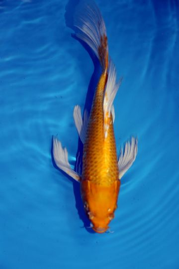 "Yamabuki Ogon Butterfly-Koi For Sale 14"" 2095"